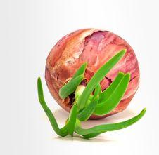 Vegetating Onion Stock Image