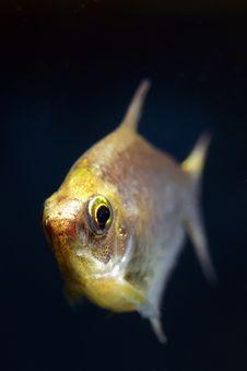 Free Palmeri (Nematobrycon Palmeri) Stock Images - 18971424