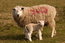Free A Sheep And Her Lamb, Standing Royalty Free Stock Photos - 18971688
