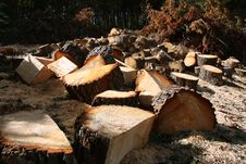 Free Felled Pines Royalty Free Stock Photo - 18972995