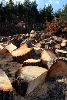 Free Felled Pines Royalty Free Stock Photography - 18973027