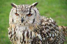 Free Spotty Owl Stock Image - 18973191