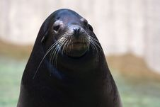 Free Seal At The Zoo Stock Photo - 18973770