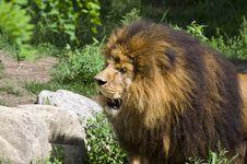 Free Lion Royalty Free Stock Image - 18974016