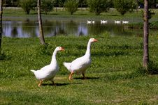 Free Pair Of Ducks Royalty Free Stock Photo - 18976565