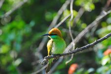 Free Sri Lankan Green Bee-Eater Perched On A Branch Royalty Free Stock Image - 18977596