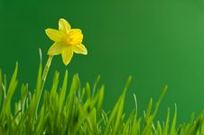 Free Narcissus Stock Photo - 18981670