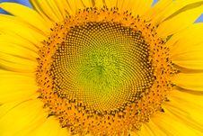 Free Closeup Of Sunflower Royalty Free Stock Image - 18983956