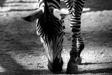Free Wild Zebra Stock Image - 18984641