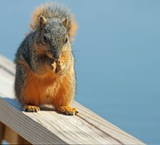 Free Squirrel Stock Photos - 18986403
