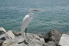 Free White Heron. Royalty Free Stock Photos - 18986638