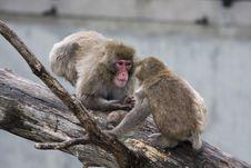 Free Macaque (Snow) Monkey S Stock Photo - 18986740