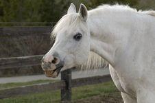 Free Smiling White Arabian Horse Stock Image - 18987141
