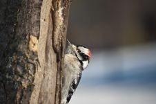 Free Downy Woodpecker On A Tree Stock Photos - 18987833