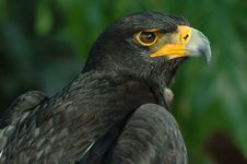 Free Verreaux S Eagle Royalty Free Stock Images - 18988889