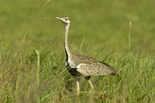 Free Black-bellied Bustard Royalty Free Stock Images - 18988909