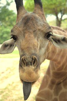 Free Giraffe Put On One S Tongue. Stock Photo - 18989360