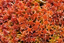 Free Red Moss Stock Photography - 18989552