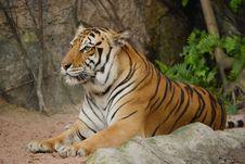 Free Tiger Stock Image - 18989611