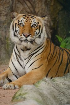 Free Tiger Stock Photography - 18989662