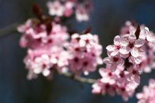 Free Cherry Tree Blossom Royalty Free Stock Image - 18992056