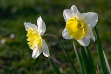 Free Daffodils In Spring Royalty Free Stock Photography - 18999897