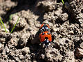 Free Ladybirds Mating 4 Stock Image - 193421
