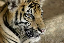 Free Tiger Cub Royalty Free Stock Photo - 190445