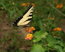Free Butterfly 2 Royalty Free Stock Photo - 190585