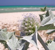 Beach Thistle Stock Image
