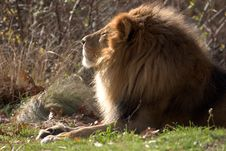 Free Lion On A Sunny Day Royalty Free Stock Photography - 193537