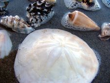 Free Sea-shells 1 Royalty Free Stock Photography - 196177
