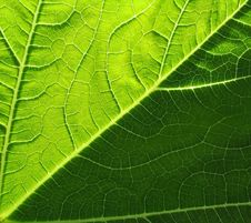 Free Leaf Of Cymbling Royalty Free Stock Photo - 196715