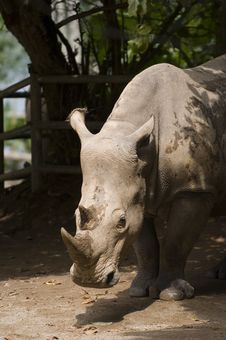 Free White Rhino 1 Royalty Free Stock Image - 197586