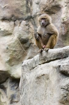 Free A Wet Baboon Royalty Free Stock Photo - 197765
