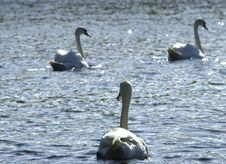 Free Beautiful Swans Royalty Free Stock Images - 198299