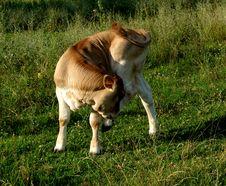 Free Cow...(2) Stock Image - 198301