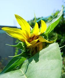 Free Sunflower Bud Stock Photos - 198343