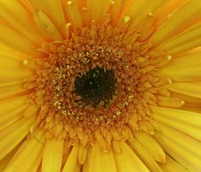 Free Yellow Gerbera Royalty Free Stock Images - 198389