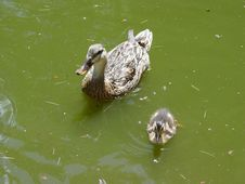 Free Duck Family Stock Image - 199741