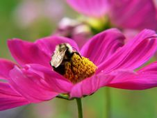 Free Bumble Bee Feeding At A Flower Stock Image - 199811
