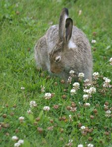 Free Rabbit In Clover Royalty Free Stock Photo - 199905