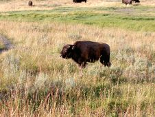 Free Baby Bison (Buffalo) At Yellowstone Stock Image - 199931