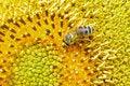 Free Bee Stock Photo - 1905550