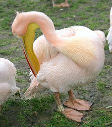 Pelican 3 Royalty Free Stock Photo