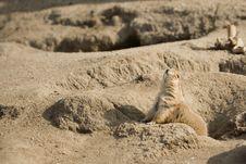 Free Prairie Dog Calling Royalty Free Stock Images - 1900479