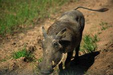 Free Warthog Stock Photo - 1903340