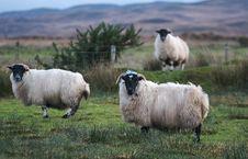 Free Highland Sheeps Royalty Free Stock Images - 1905779