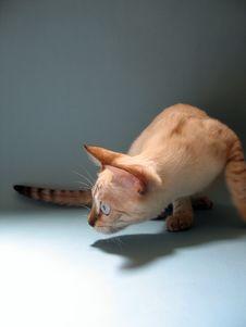 Alert Bengal Kitten - Snow Bengal Cat Stock Photo