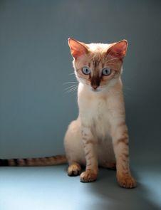 Free Bengal Kitten Portrait Stock Photos - 1906913